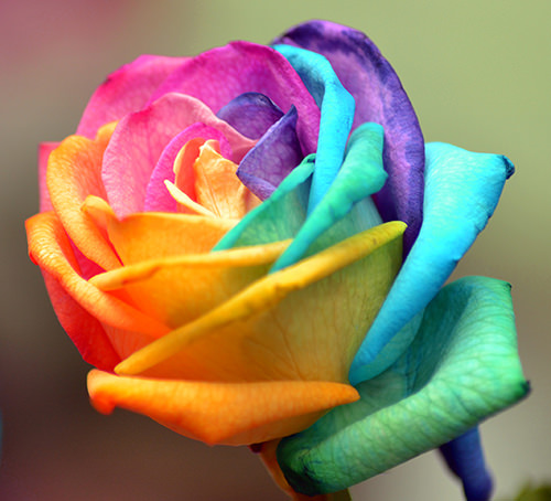 colorful rose optimised