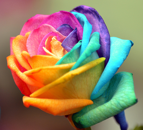 colorful rose original